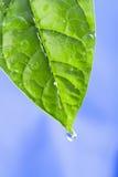 zielone liści kropli wody Obraz Stock