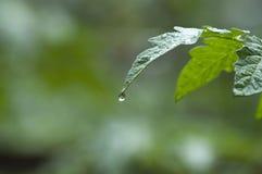 zielone liści kropli wody Zdjęcie Royalty Free