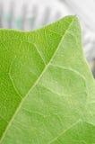 zielone liści makro Zdjęcia Royalty Free