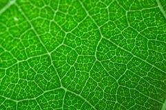 zielone liści makro Obrazy Stock