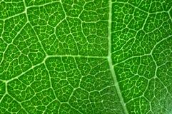 zielone liści makro Zdjęcia Stock