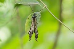 zielone liści motyla Obrazy Royalty Free