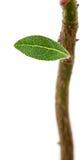 zielone liści young Fotografia Stock