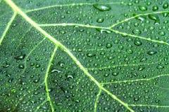 Zielone liścia i wody krople Obrazy Royalty Free