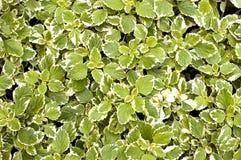 zielone liście Obraz Royalty Free