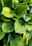 zielone liście mokre Obrazy Royalty Free