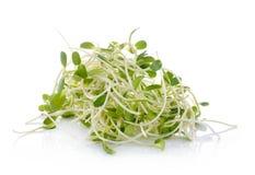 Zielone młode słonecznik flance odizolowywać na białym tle obrazy royalty free