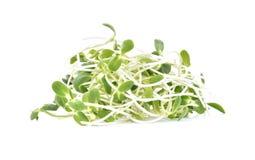 Zielone młode słonecznik flance odizolowywać na białym tle Fotografia Stock