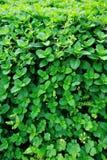 Zielone mennic rośliny Zdjęcie Royalty Free