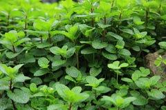 Zielone mennic rośliny Obrazy Stock