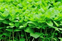 Zielone mennic rośliny w przyroscie Zdjęcie Royalty Free