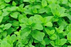 Zielone mennic rośliny w przyroscie Fotografia Royalty Free