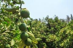 Zielone niedojrzałe cytryny r na drzewie, niebieskie niebo w tle obrazy stock