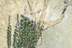 Zielone obwieszenie rośliny, ściana i Obrazy Royalty Free