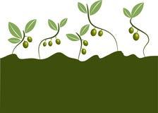 Zielone oliwki ilustrować Zdjęcia Stock