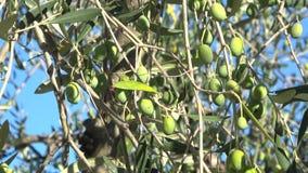 Zielone oliwki na w górę słonecznego dnia Włochy zbiory wideo