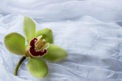 Zielone orchidee biały tło - odosobnione - Zdjęcia Stock