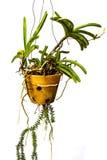Zielone orchidee wiesza garnki. obraz stock