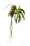 Zielone orchidee wiesza garnki. zdjęcie royalty free