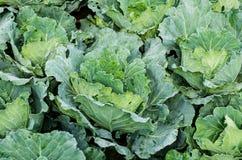 Zielone organicznie kapusty uprawiają ziemię, kapusta ogród, Świeże kapusty Obrazy Royalty Free