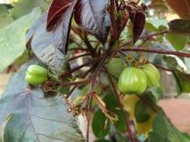 Zielone owoc Bellyache krzaka roślina, Jatropha gossypifolia, Czarny physicnut zdjęcia royalty free