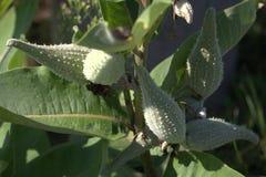 Zielone owoc egzotyczna roślina Obraz Stock