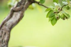 Zielone owoc przy bonsai jabłonią Fotografia Royalty Free