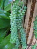 zielone owoce winorośli zdjęcia stock