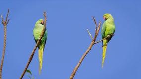 zielone papug zdjęcia stock
