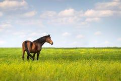 zielone pastwiska koń Zdjęcie Royalty Free