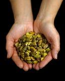 Zielone pistacje w ręce Fotografia Royalty Free