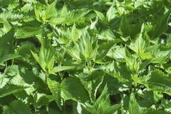 zielone pokrzywowe rośliny Obraz Royalty Free