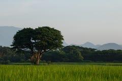 zielone pola drzewo Fotografia Royalty Free