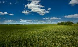 zielone pola dzień lata gorąca pola pszenicy Rolnictwo Żniwo Zdjęcia Royalty Free