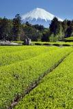 zielone pola iii herbaty. Obrazy Stock