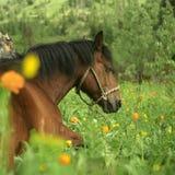 zielone pola końskiego portret s Zdjęcia Royalty Free