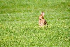 zielone pola królik. Obrazy Royalty Free