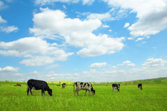 zielone pola krowy Fotografia Royalty Free