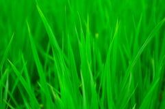 zielone pola paddy Obraz Stock