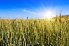zielone pola pszenicy Zdjęcie Stock