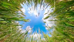 zielone pola pszenicy zbiory