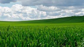 zielone pola pszenicy zdjęcie royalty free