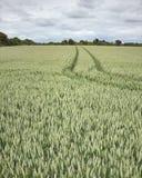 zielone pola pszenicy obrazy royalty free