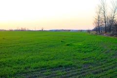 zielone pola pszenicy Obraz Stock