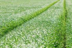 zielone pola pszenicy Młody pszenicznego pola tło Zdjęcie Royalty Free