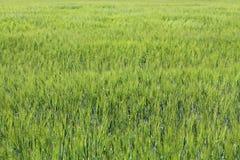 zielone pola pszenicy Zielony rolnictwa tło z zbożami Obrazy Royalty Free