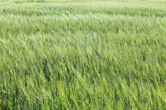 zielone pola pszenicy Zielony rolnictwa tło z zbożami Obraz Stock