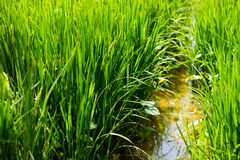 zielone pola ryżu Obraz Stock