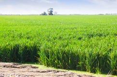 zielone pola ryżu Obraz Royalty Free
