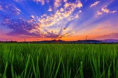 zielone polowe ryżu obraz royalty free